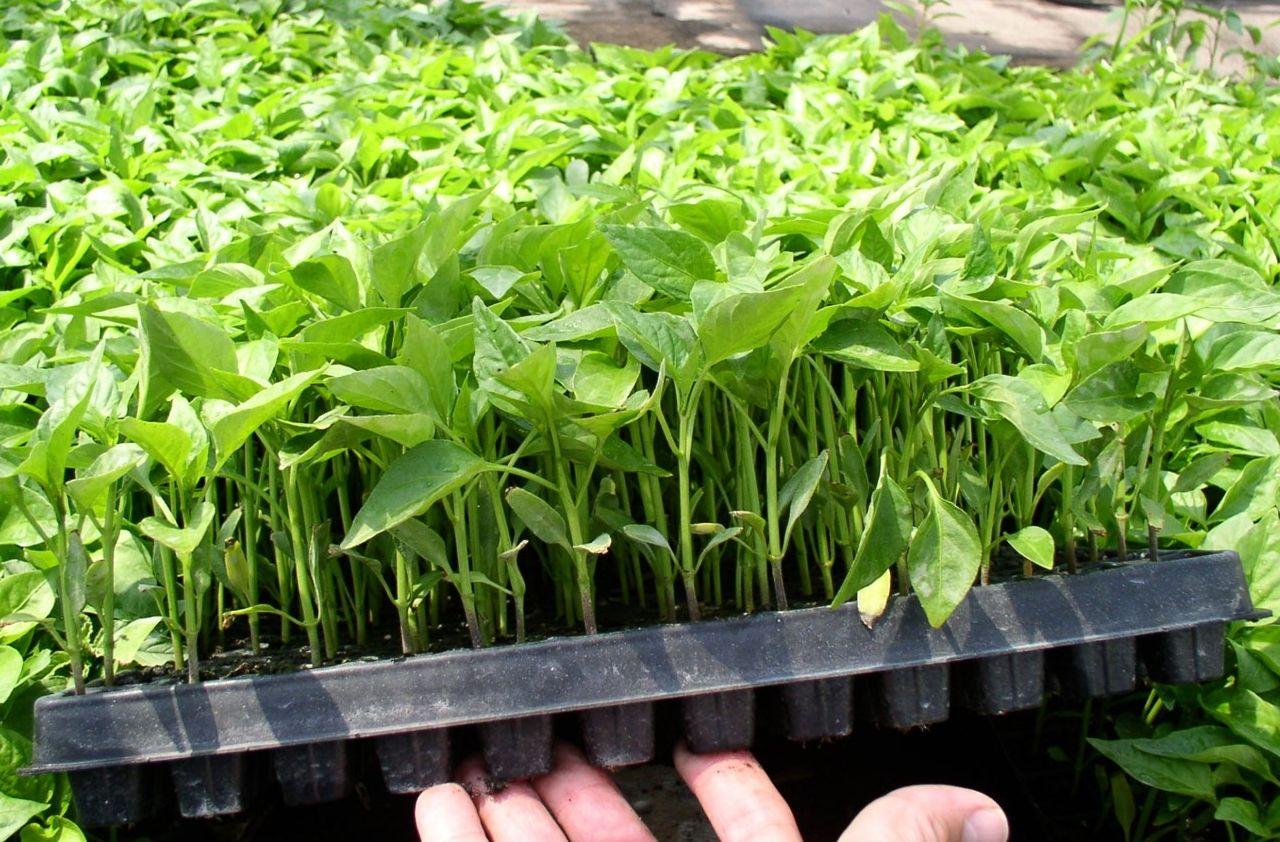 QuickPot Anzuchtplatte mit Chili bepflanzt