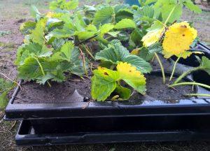 Erdbeerableger in Quickpot Anzuchtplatten überwintern